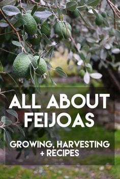 All About Feijoas - growing, harvesting + recipes - Milkwood