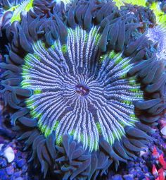 Green Rim Rock Anemone Stripped Live Coral Aquarium Flower Rock Anemone Reef