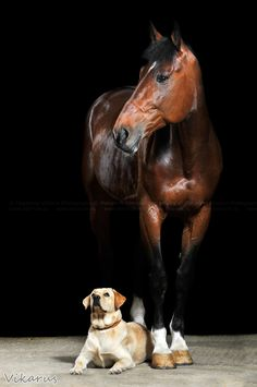 "Yellow Labrador Retriever and Horse... ""A photo of discipline."" (photo credit: http://vikarus.deviantart.com/)"