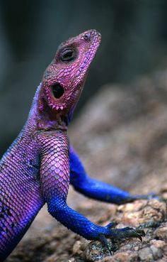 'Flat-headed rock Agama (Agama mwanzae).' by Lonely Planet