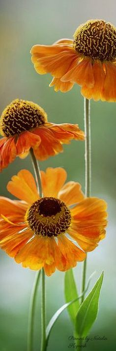 Helenium. Blooms late June to September. Yellow to read blooms. Grade B deer resistant. Full sun.