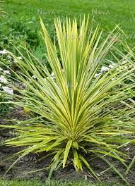 Cordyline Australis Jive A Showy Tree Type Cordyline That Grows To 7 To 8 Feet Tall Up On A Single Trunk With Leaves That A Lilac Flowers Plants Succulents