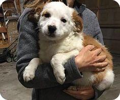 Denver, CO - Australian Shepherd Mix. Meet Missy, a puppy for adoption. http://www.adoptapet.com/pet/15439783-denver-colorado-australian-shepherd-mix