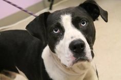 Wyatt: Beautiful sad-eyed pit is out of time at high-kill upstate shelter