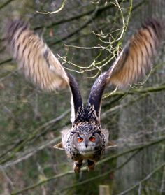 a eurasian eagle owl in flight in eekholt wildlife park in northern germany. eurasian eagle owls can live up to 30   years and grow to be 70 centimeters (2   feet 3 inches) in size.  brilliant navigators thru tangled branches in the silence of night! wonderfully intelligent majestic beauties!!!