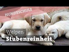 Stubenreinheit beim Welpen - stubenrein - Welpenerziehung Hund Hunde Lab...