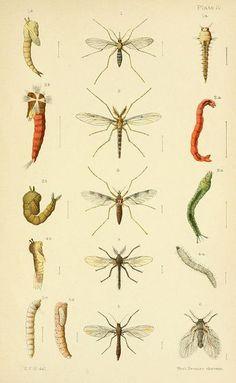 Las etapas de vida de distintos tipos de mosquitos.