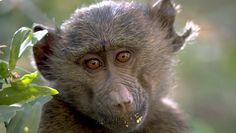 The adorable face of a baby baboon eating leaves in a tree.