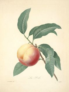 Peach, Plate 46 by Pierre-Joseph Redoute | Art Posters & Prints