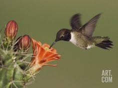 texas hill country hummingbirds