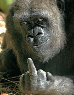 Un gorilla con una seña para todos los humanos.
