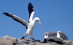 O atobá-de-nazca pesca longe da costa e, por isso, é visto com menos frequência, apesar de ser mais abundante em Galápagos do que o atobá-de-pé-azul: http://abr.io/4g3r