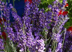 """Cara Mudah Menanam Bunga Lavender """" Bernilai Ekonomi """" - http://www.ruangtani.com/cara-menanam-bunga-lavender/"""