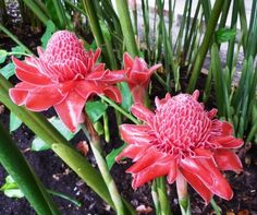 Torch Ginger Flowers: How To Grow Torch Ginger Lilies Torch Ginger Plant Information - Caring For To Tropical Flowers, Tropical Plants, Tropical Gardens, Hawaiian Flowers, Pink Ginger, Ginger Flower, Tropical Landscaping, Landscaping With Rocks, Landscaping Ideas