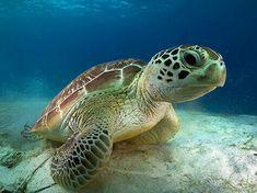 Karetta (Caretta caretta), also known as Loggerhead sea turtle