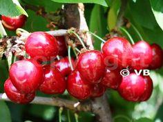 VAN Honeydew Melon, Raisin, Grapefruit, Pear, Pineapple, Mango, Cherry, Strawberry, Banana