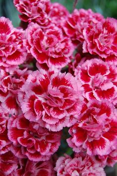 Dianthus 'Sugar Plum' [love dianthus they smell so good] - My site Blooming Flowers, Flower Petals, My Flower, Flower Power, Amazing Flowers, Beautiful Roses, Beautiful Flowers, Flower Images, Flower Pictures