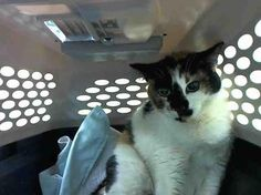 TO BE DESTROYED 04/14/15 - YOLANDA - A1031917 - TO BE DESTROYED 04/14/15 - YOLANDA - A1031917 - BROOKLYN, NY  RARE SECOND CHANCE FOR YOLANDA TONIGHT.....Her owner passed, she was dumped at the ACC and now this poor fearful kitty has a New Hope rating for her fear. She was a house pet who had a loving owner and she is grieving the loss. She is naturally afraid. But she was not this way before being dumped! PLEASE BE THE RESCUE ANGEL TONIGHT FOR YOLANDA !! She is a gorgeous, healthy 3 yr old…