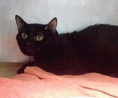 ***TO BE DESTROYED 04/20/17*** PERFECTLY HEALTHY CLOVER ALLOWS GENTLE PETTING AND NEEDS A HOME THAT HE CAN CALL HIS OWN! CLOVER WAS PART OF A LARGE GROUP OF CATS. THIS HOUSE PANTHER MUST BE RESERVED BY NOON!
