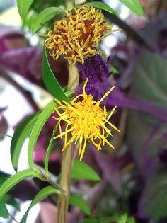 Гинура оранжевая (Gynura Aurantiaca) цветы