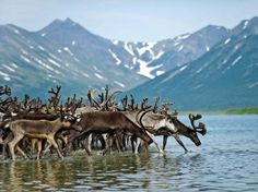 I've been to the Kamchatka Peninsula and want to back to see: Reindeer in the far east of #Russia. From: #JetsetterCurator