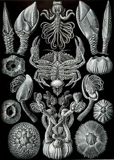 Google Image Result for http://arthropoda.files.wordpress.com/2009/11/haeckel_cirripedia.jpg