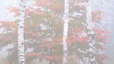 和の写心 By Masaaki Aihara . 紅葉霧雨図長野県八千穂高原 FUJIFILM X-T2FUJINON XF50-140mmF2.8 R LM OIS WR . 撮影で一番怖いことそれはなんだかわかりますかバッテリー切れメディア不足それもありますが僕が考える一番怖いことは被写体から眼を離すことフィルム時代はフィルム交換が一番怖かったですその間は完全に被写体から眼を離すからですデジタルになってからはフィルム交換の恐怖から解放されましたがそのかわりメニュー設定に夢中になりチャンスを危うく逃しそうなことがありましたXシリーズになりその不安は大きく解消されましたそれはQボタンでカスタム選択が一目でわかるようになったからです今撮影している自分の画質を中心とした設定が一目瞭然でわかります . Xを使うプロカメラマンやX…