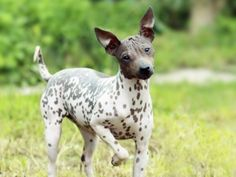 20 ideálnych plemien psov do bytu | Chovatelahospodar.sk Best Dog Shampoo, Pet Shampoo, Rat Terrier Dogs, Terrier Dog Breeds, Hairless Dog, Coton De Tulear, Dog Training Videos, Lhasa Apso, Bichon Frise