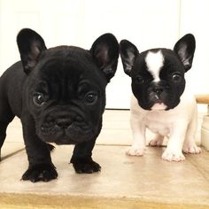 French Bulldog Puppies, from Fleur De Vanille French Bulldogs kennel fhttp://www.frenchbulldogbreed.net/for-sale.html #Buldog