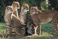 (the King Cheetah cub) with her siblings at Tama Zoo in Tokyo by Steve Tracy Photography, via Flickr