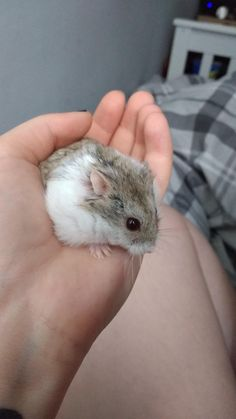 My little fluff nugget Lulu she's a very cheeky monkey and likes to stand up and fall backwards #aww #Cutehamsters #hamster #hamstersofpinterest #boopthesnoot #cuddle #fluffy #animals #aww #socute #derp #cute #bestfriend #itssofluffy #rodents