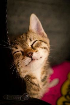 Discover ideas about baby animals. awwww such a cute kitty! Pretty Cats, Beautiful Cats, Animals Beautiful, Cute Kittens, Ragdoll Kittens, Tabby Cats, Bengal Cats, Baby Animals, Funny Animals