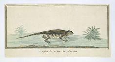 anoniem   Hagedis (Agama hispida) uit de Karoo, attributed to Robert Jacob Gordon, 1778  