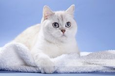British Shorthair Cat Blue Eyes