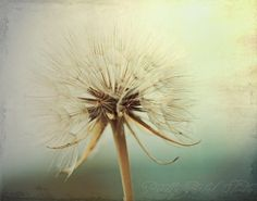 Fine Art Photography Dreamy Dandelion Art by PrettyPetalStudio, $30.00