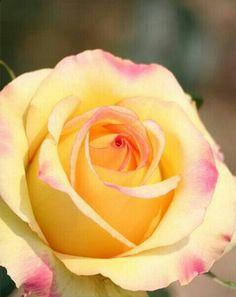 Mina rosor.