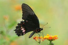 Papilio Anchisiades Capys | Tudo Sobre Borboletas