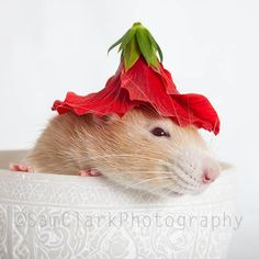 Rat Photograph - Nursery Art, Rat in Bowl, Rat red flower hat, cute rat, small animal, red, white, fawn, fPOE, POE. $35.00, via Etsy.