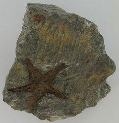 Stella di mare fossile - Fossiler Seestern cod.f060