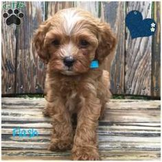 Cavapoo puppies for sale! These adorably fluffy Cavapoo puppies are a cross between a Cavalier King Charles Spaniel and a Miniature Poodle. Cavapoo Dogs, Cavapoo Puppies For Sale, King Charles Spaniel, Cavalier King Charles, Dog Breed Info, Cute Small Dogs, Greenfield Puppies, Poodle, Wildlife