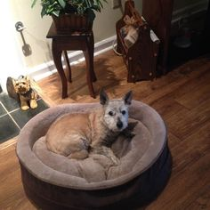 Lost Dog - Cairn Terrier - Avondale Estates, GA, United States 30002