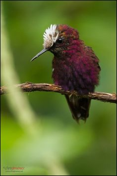 ~~Snowcap ~ Brawlio carrillo Hummingbird by Chris Jimenez Nature Photo~~