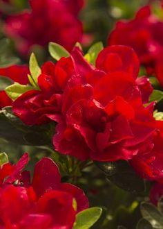 Autumn Bonfire™ Encore® Azalea - I want a Garden - Landscape Azaleas Landscaping, Small Yard Landscaping, Luxury Landscaping, Landscaping Ideas, Landscape Plans, Landscape Design, House Landscape, Dwarf Azaleas, Azalea Color