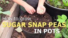 How to grow sugar snap peas in pots. How to grow peas. Self-sufficient on less than 1 acre. Growing vegetables in pots, kitchen garden inspiration. Growing Snow Peas, Growing Vegetables In Pots, Sugar Snap Peas, Harvest Season, Garden Tips, Garden Inspiration, Container Gardening, Fingers, Acre