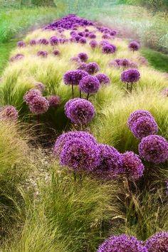 giant allium in grasses