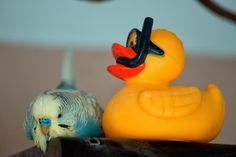Wellensittich Foto des Tages » In diesem Foto begibt sich der Rostocker Wellensittich in eine seh ...