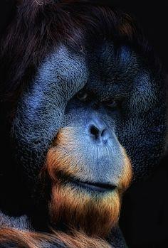 Orangutan by LAM Photography