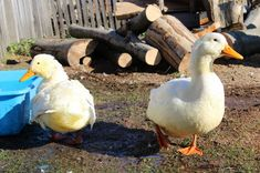 Game of duck #srbija #serbia #village #duck #animal #nature 13