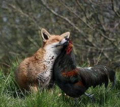 The fox and the rooster. Source:pixdaus.com