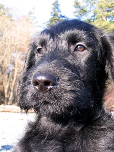 Black Labradoodle puppy. Ferrous in the sunshine.